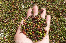 Cambodia's pepper exports soar over 500 percent in first eight months