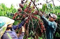 Vietnam's coffee exports to UK drop in H1