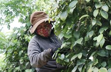 Vietnam's peppercorn exports to Germany facing difficulties amid COVID-19
