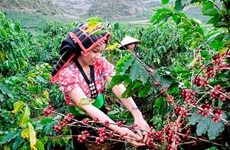 Son La coffee growers supported in sustainable development