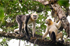 Efforts needed to conserve rare primates in Ha Giang