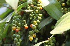 Vietnam sees surges in pepper exports to France in 7 months