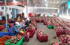 Geographical indication of Binh Thuan dragon fruit protected in Japan