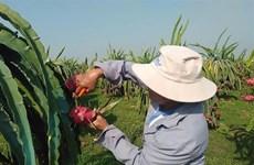 Binh Thuan province enhances dragon fruit exports