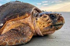 Quang Binh releases 120-kg sea turtle to nature