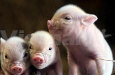 Health Ministry: no swine flu in Vietnam