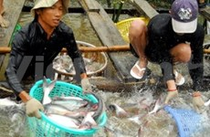Farmers contribute to pangasius farming standards
