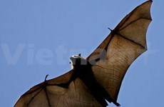 Largest flying fox colony discovered in Kien Giang