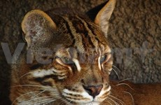 Rare fishing cat found in An Giang