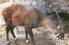 Saola preservation kicks off in Hue