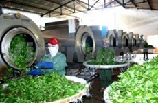 Oolong tea processing plant opens in Lam Dong