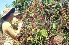 Coffee prices to be stable in 2010-11 crop