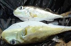 Huge potential for VN's puffer fish exports