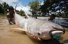 New fish species found in Mekong River basin