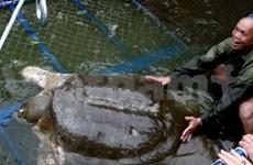 Hanoi to improve care for Hoan Kiem turtle