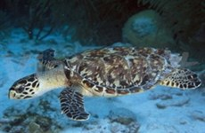 Environmentalists release hawksbills sea turtles to sea