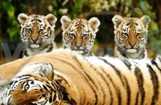 Seminar calls for urgent tiger conservation