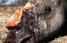 Javan rhino wiped out in Vietnam