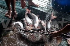 Mekong delta targets 2 bln USD in Tra fish export