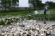 Nation develops vaccine to minimise risks of bird flu