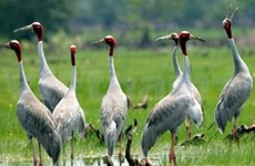 Red-headed cranes flock to national park