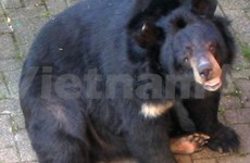Cat Tien national park greets rare black bears