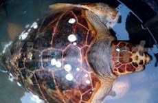 Endangered sea turtle returns to seas