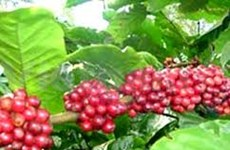 VN coffee consumption to surge