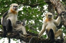 Snub-nosed monkey population grows steadily