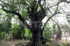 Quang Ngai has first Heritage Tree