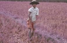 Severe drought hits Binh Dinh farmers