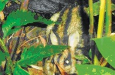 Rare striped rabbit discovered in central Vietnam