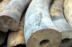 Elephant tusk smuggler seized in HCM City