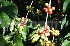 Thailand to grant GI recognition to Buon me Thuot coffee