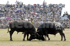 Buffalo fighting festival recognised