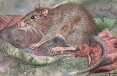 New species of rat found in Indonesia