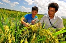 An Giang: Farmers earn high profit from Japan's rice varieties