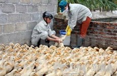 Tien Giang announces A/H5N1 flu on poultry