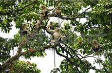 Vietnam boasts highest number of Tokin snub-nosed monkeys