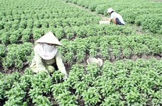 Mekong Delta city to grow high-quality vegetables