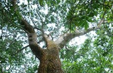 Acacia plays key role in environmental protection