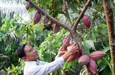 Global cocoa shortage looms