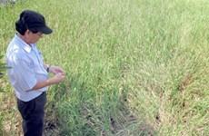 Drought brings saline water deep into Mekong Delta