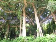 Ancient Da Nang tree receives cultural recognition