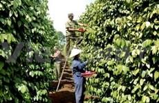Vietnamese pepper sees increasing status on global market