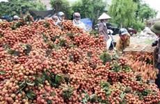 Vietnamese lychee growers look for space in Japanese market