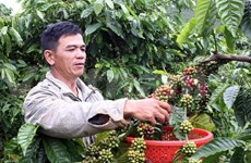 Half-year coffee export reaches 1.04 million tonnes