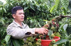 Dak Lak maintains stable coffee export