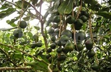Macadamia – farmers' new hope of getting rich