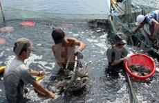 Ca Mau focuses on developing clean shrimp materials